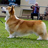 Welsh corgi pembroke ABERLEE LEAVE IT TO ME