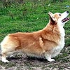 welsh corgi pembroke ANDVOL PERCHIK CHILLI