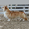 welsh corgi pembroke ALFAWISH IRISH TOFFEE