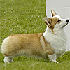 Welsh corgi pembroke  ELFWISH SALLY RIDE