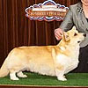 Welsh corgi pembroke HAYWIRE'S BEYOND THE SEA.