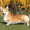 welsh corgi pembroke SHAVALS FIRE CLASSIC AT CRAIGYCOR