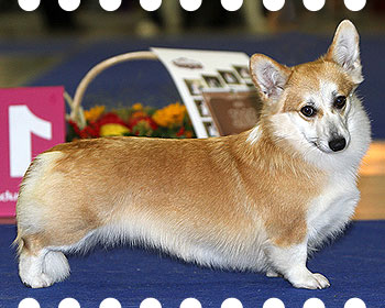 welsh corgi pembroke Alfawish Windsor Beauty