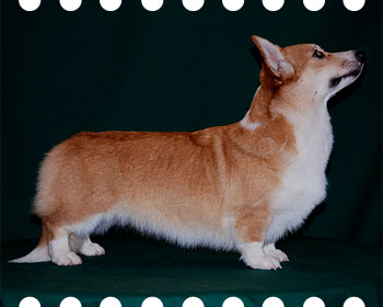 welsh corgi pembroke Dolli Lisa-Kras