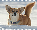 welsh corgi pembroke in snow