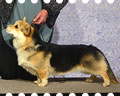 Welsh corgi pembroke Alfawish FIRST KNIGHT