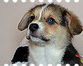 welsh corgi pembroke ALFAWISH HOPE