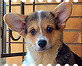 welsh corgi pembroke puppy ALFAWISH HOPE