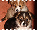 maximize welsh corgi pembroke puppies
