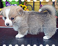 Welsh corgi pembroke puppy Alfawish CHRIS