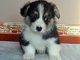 welsh corgi pembroke puppy ALFAWISH CAREVITCH PROSHA