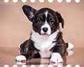 welsh corgi cardigan puppy Alfawish JUSTINA OF THE STAR