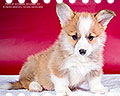 Welsh corgi pembroke puppy Alfawish UNIVERSE OF MY FANTASY