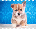 Welsh corgi pembroke puppie Alfawish PERCY POLARIS