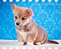 Welsh corgi pembroke puppie Alfawish PIRATE KING