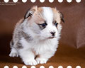 welsh corgi pembroke puppy Alfawish BEATRISS