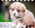 Welsh corgi pembroke puppy Alfawish NIGHTINGALE SONG