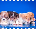 Welsh corgi pembroke puppies