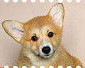 welsh corgi pembroke puppy ALFAWISH SHAKESPEARE