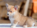 Welsh corgi pembroke puppy Alfawish TIFFANY