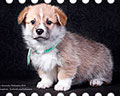 Welsh corgi pembroke puppy Alfawish INSPIRED DREAM