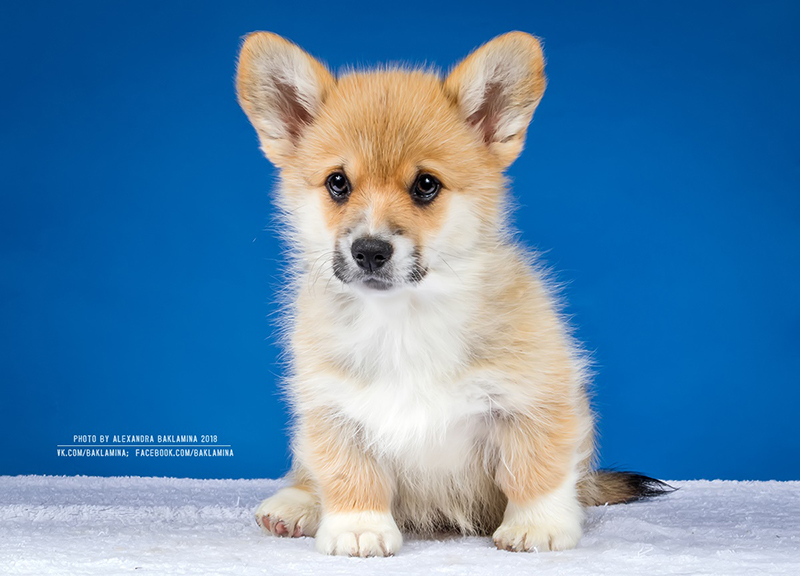 Welsh corgi pembroke puppy Alfawish EASY STEP