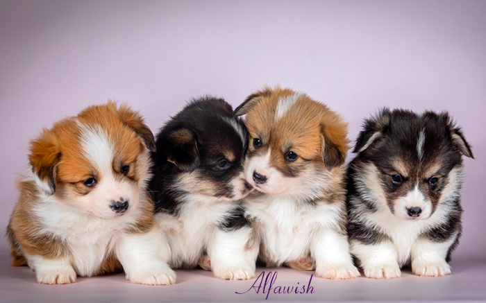 Welsh corgi pembroke puppies, Alfawish kennel, litter F