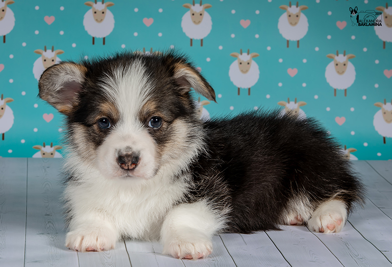 Welsh corgi pembroke puppy Alfawish ENIGMA IN BLACK, tricolor female