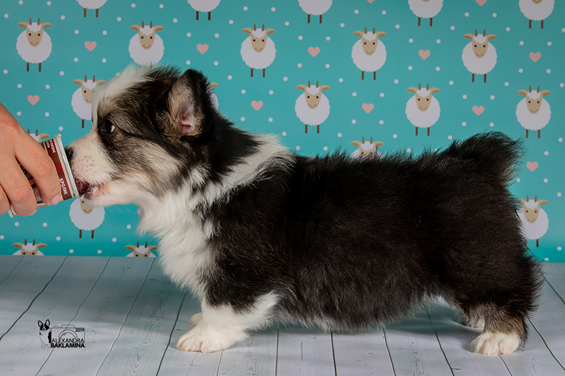 Welsh corgi pembroke puppy Alfawish IRVIN, tricolor male,  		natural bobtails, fluffy