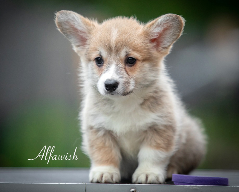 Welsh corgi pembroke puppies, Alfawish kennel, litter N