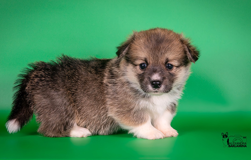 Welsh corgi pembroke puppy Alfawish ODRI, red & white female