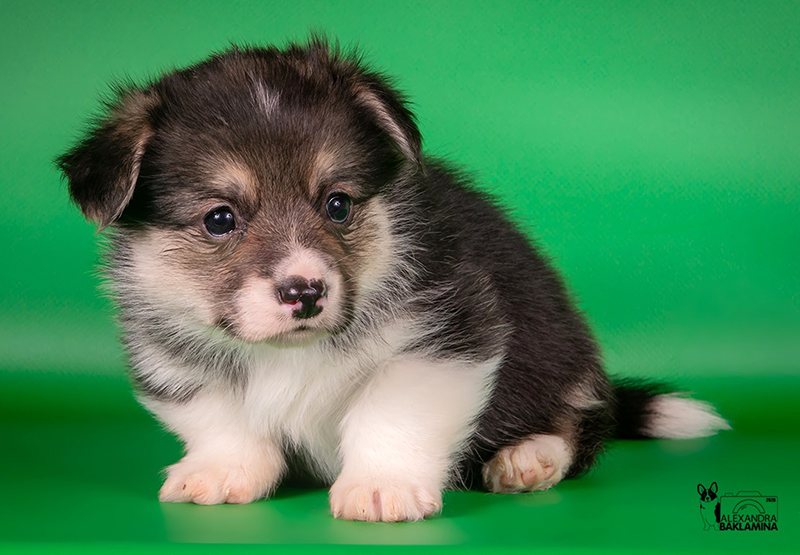Welsh corgi pembroke puppy Alfawish OLIVIA, tricolor female