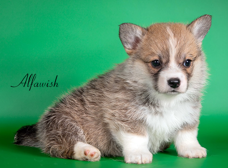 Welsh corgi pembroke puppy Alfawish RADIANT BEAUTY