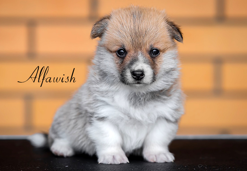 Welsh corgi pembroke puppy Alfawish TRACY
