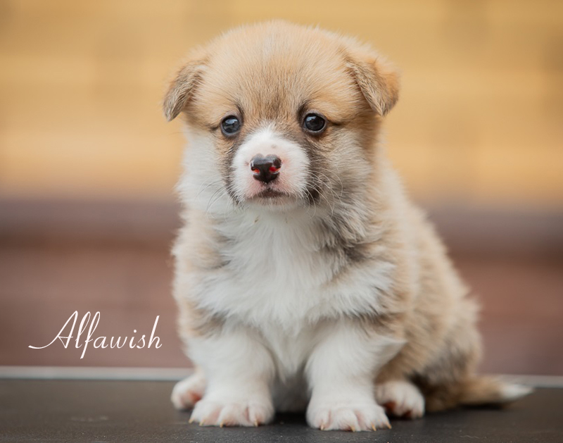 Welsh corgi pembroke puppy Alfawish URIY SAN LIGHT