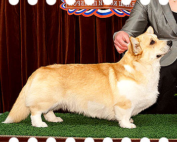 welsh corgi pembroke Haywire's Beyond The Sea